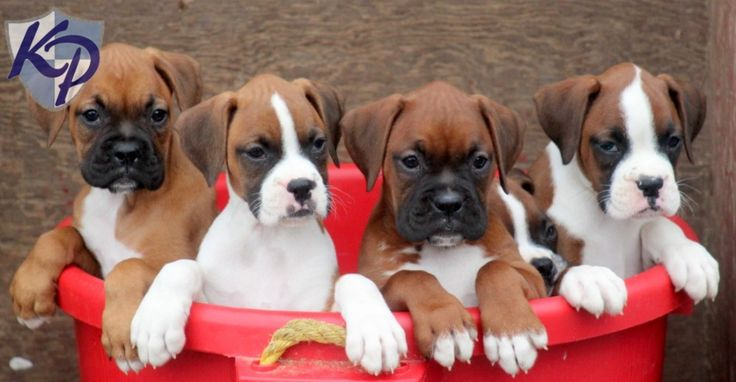 Farrah – Boxer Puppies for Sale in PA | Keystone Puppies
