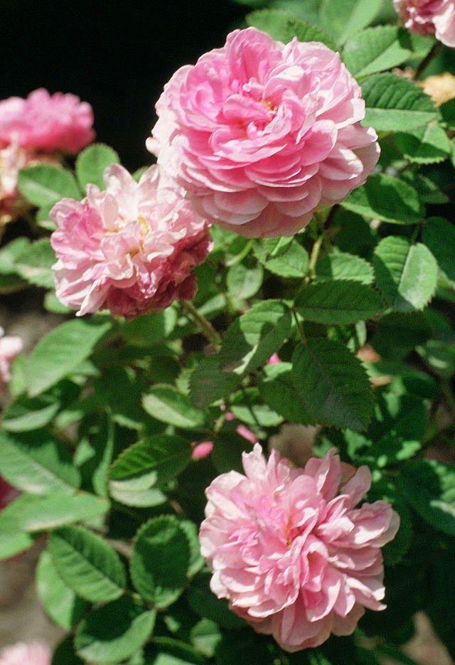 Które róże są jadalne? Które do czego? Jakie jadalne róże można hodować na balkonie w donicy? Gdzie kupić różane konfitury.