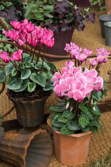 Mini cyclamen - potted pink - these were around $4 at TJ's in pinks, purples and white.