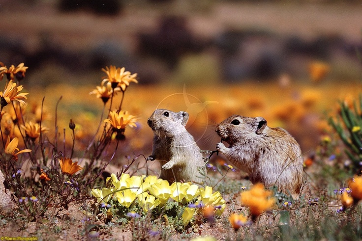 Whistling Rats amongst the Namaqualand flowers!