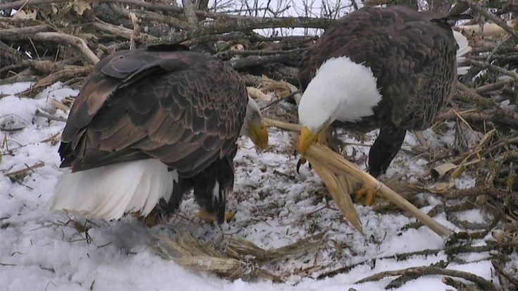 Orel Bělohlavý – webkamera, Bald eagle in nest