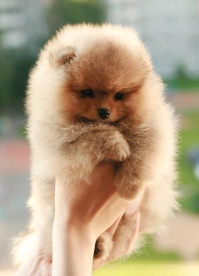Red Pomeranian puppy. I've always wanted one! | Cute ...