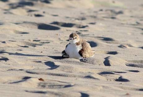 "The first ""Fratino"" bird, born on Martinsicuro Beach"