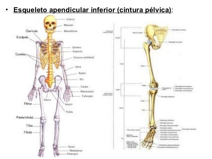 Huesos de las extremidades inferiores y la cintura pélvica.