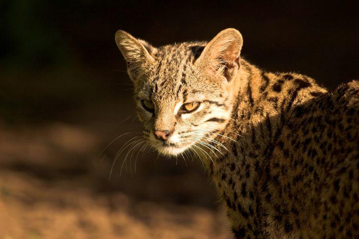 De geoffroy-kat is een uitstekende klimmer die vaak in bomen slaapt en jaagt…