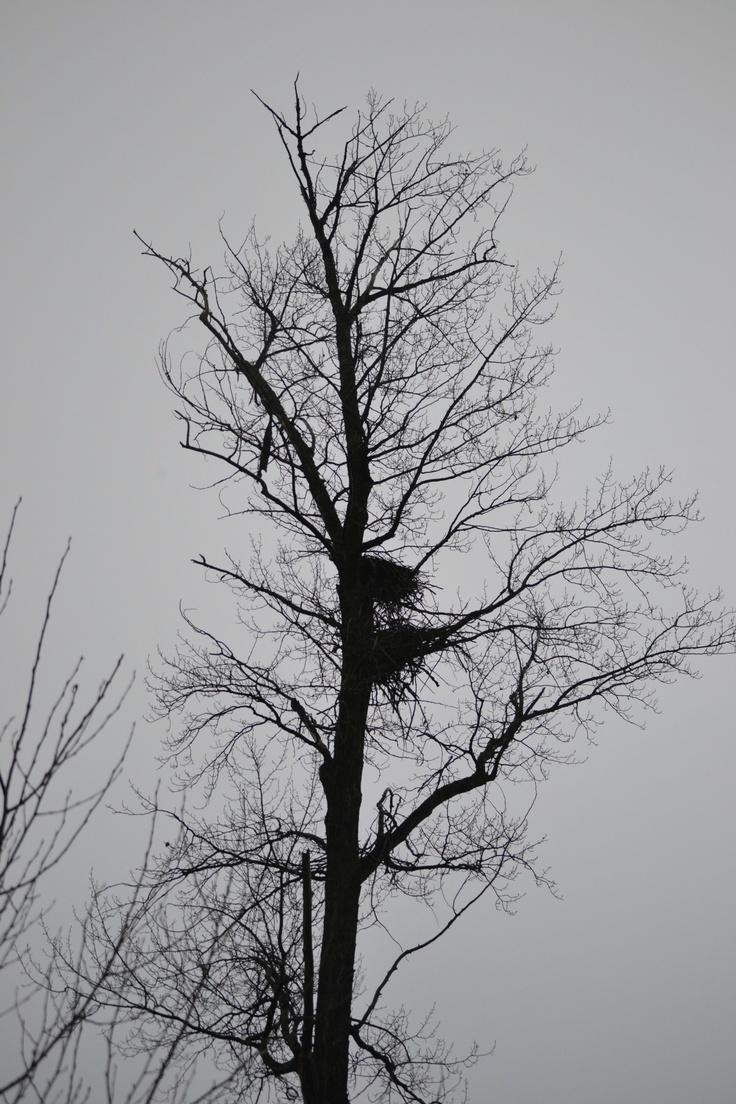 Eagle Nest Tree