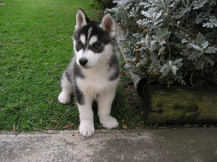 pomsky full grown - Google Search