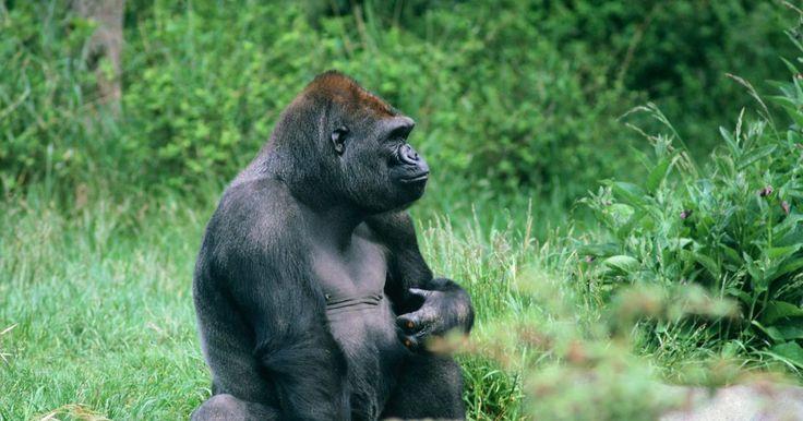 Descripción física del gorila de espalda plateada. El gorila de espalda plateada, también conocido por el nombre gorila de montaña o por su nombre científico Gorila beringei beringei, fue descubierto en 1902. Sólo unos 650 gorilas de espalda plateada quedan en el mundo. Los machos son los líderes de los grupos de gorilas, y son los encargados de llevar a cabo una amplia gama de funciones vitales ...