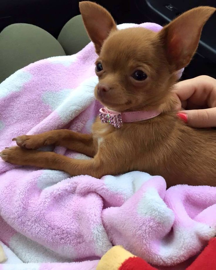 Chihuahua Puppies For Sale   North Western Cape South Africa