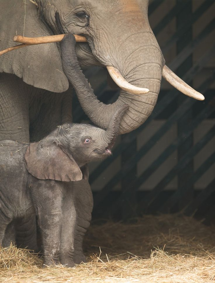 One-week-old baby Elephant with mum