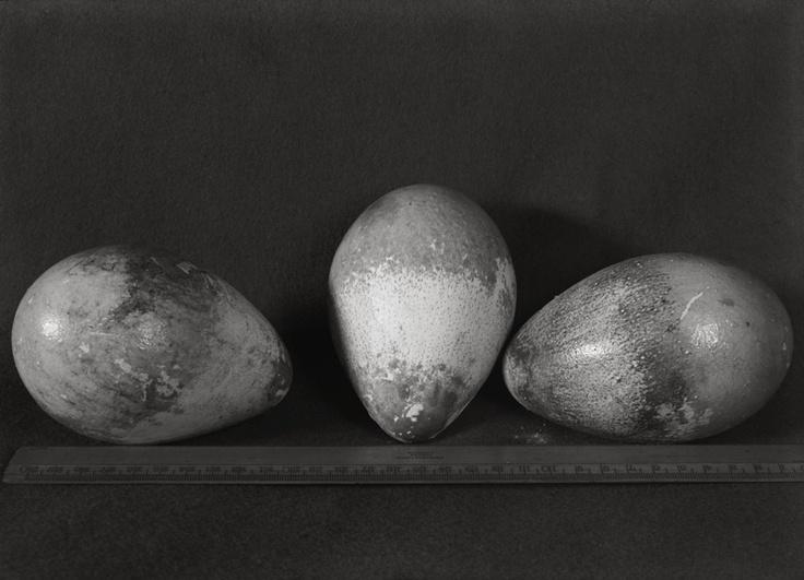 Emperor penguin's eggs, Herbert Ponting (1870-1935)