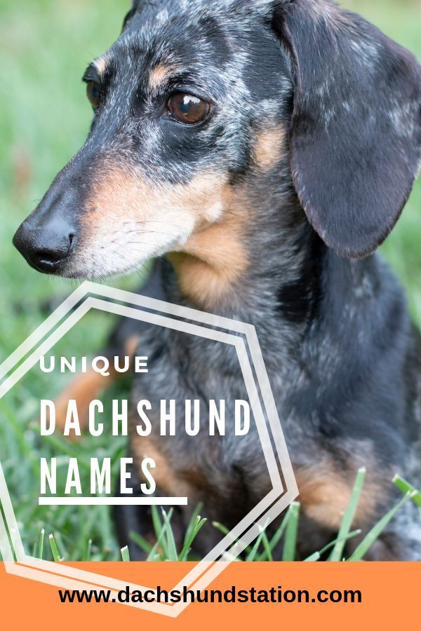 Top Unique Dachshund Names 2019 Dog Names Dog Names Unique