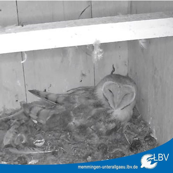 #Webcam-Freunde aufgepasst: Die LBV-Kreisgruppe Memmingen/Unterallgäu hat für euch nun eine #Schleiereulen-Webcam zu bieten. Zwei #Küken sind schon geschlüpft weitere werden noch folgen. Verfolgt diese faszinierende #Eulen-Art live bei Brut und Aufzucht unter: memmingen-unterallgaeu.lbv.de/ (Übrigens ist das sogar schon ihre zweite Brut in diesem Jahr)  #eule #owl #barnowl #memmingen #unterallgaeu #allgaeu #vogel #vögel #bird #birds #vogelbeobachtung #birdwatch #birdwatching #natur…