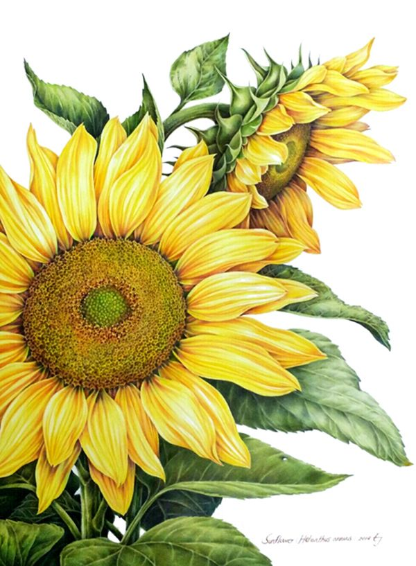 """Illustration by Ej """"Sunflower"""" Watercolor pencil(390*600)"""