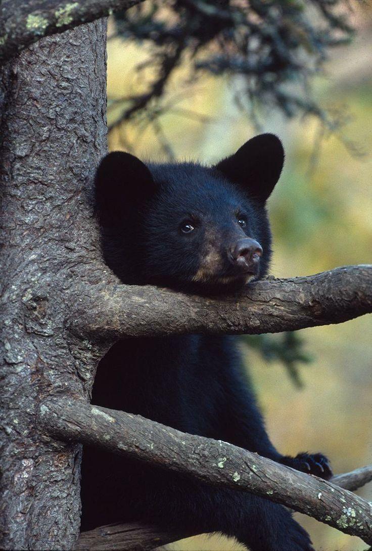 Little Black Bear #cute #adorable
