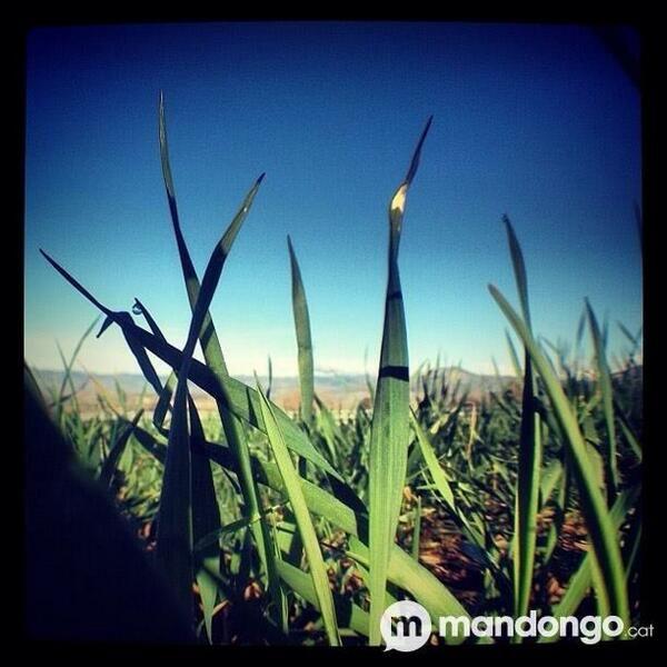 Els sembrats ja creixen al #Pallars