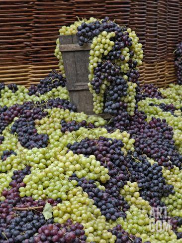 Grapes, La Festa Dell'Uva, Impruneta, Tuscany, Italy