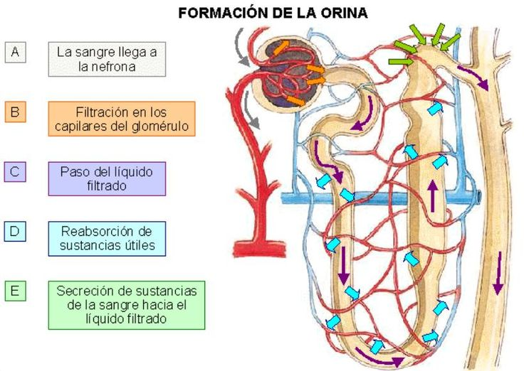8 best FISIOLOGIA SISTEMA RENAL images on Pinterest | Searching, Med ...