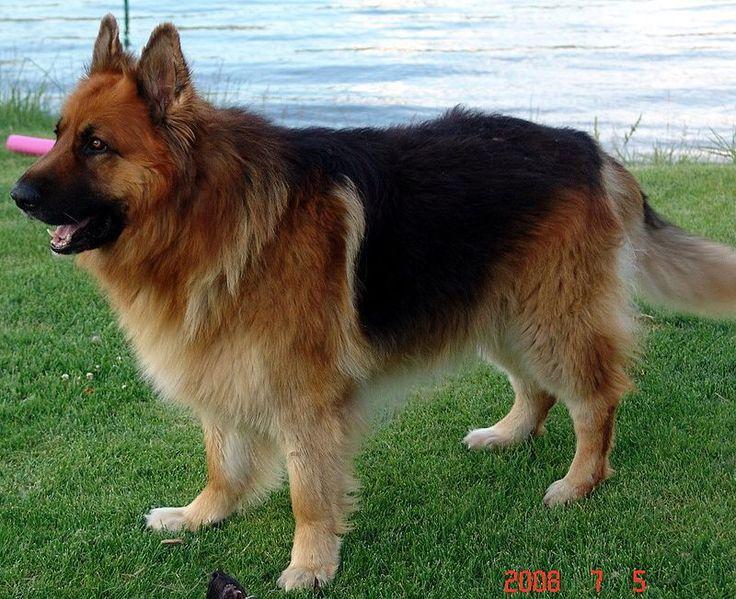 Long haired king German shepherd