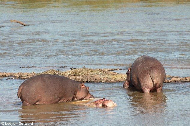 Scientists have captured one of the first cases of cannibalism in hippopotamuses on camera...