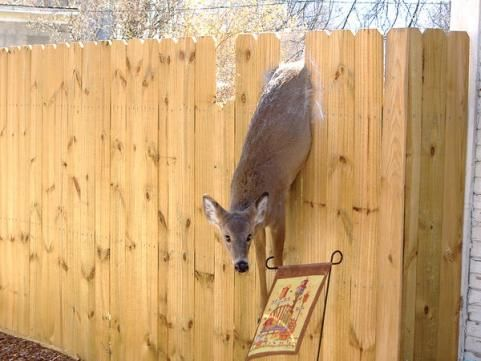 37 best images about deer fence on pinterest garden for How to keep deer out of garden fishing line