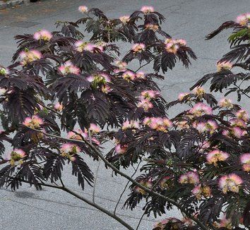 Albizia julibrissin 'Summer Chocolate' bought a 5 gal May 2014 for front yard