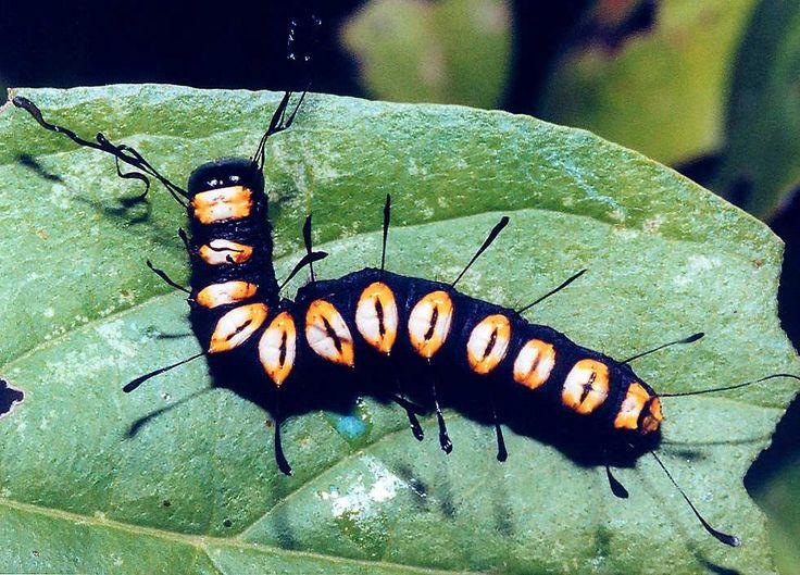 funerary dagger moth or paddle caterpillar