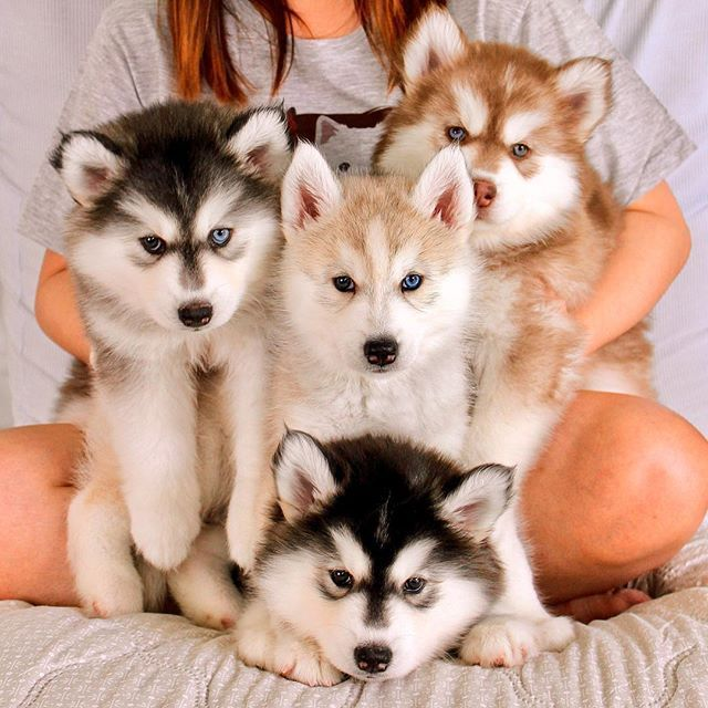 Because some of us just need a cute puppies picture today. From left to right: Kenai, Koda, Sitka and Denahi, 45 days