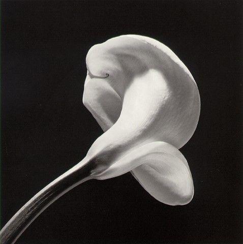 Les Fleurs de Robert Mapplethorpe
