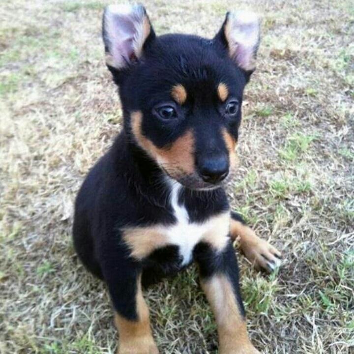 Australian Sheep Dog Puppy For Sale Uk