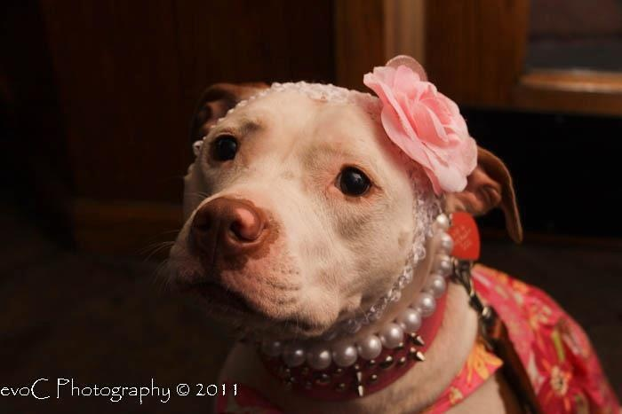 Pink Lady Pittie (Her name is Cricket)