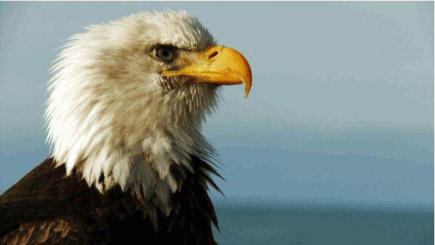 eagle1.gif (610×344)