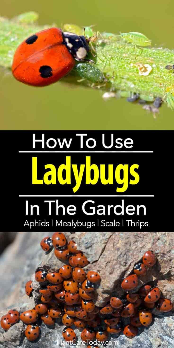 Lady Bugs eat generously on aphids, mealybugs, spider mites, scale, thrips, and whiteflies in flowerbeds and vegetable gardens yet never harm plants.