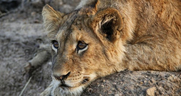 Lions of Kapama Private Game Reserve