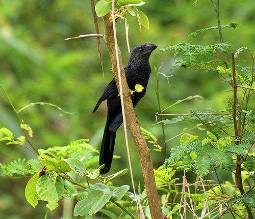CUCULIDAE - Crotophaga ani - Smooth-billed ani - Garrapatero común 27CMS-96DPI 4   por Reserva Natural Palmari - Official site