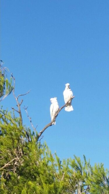 #cockatoos are back
