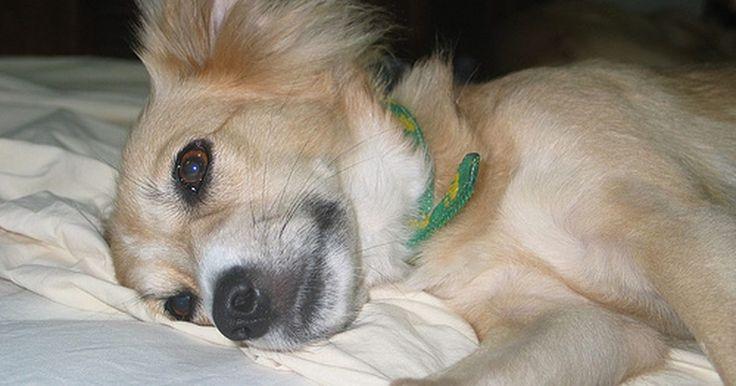 Quais são as causas do excesso de leucócitos em cães?. Uma contagem elevada de glóbulos brancos em um exame de hemograma completo de um cão pode ser um indicativo de diversas condições de saúde. Existem vários tipos de glóbulos brancos (leucócitos) em um cão, portanto determinar exatamente qual tipo está elevado pode ajudar os veterinários a obter um diagnóstico mais preciso.