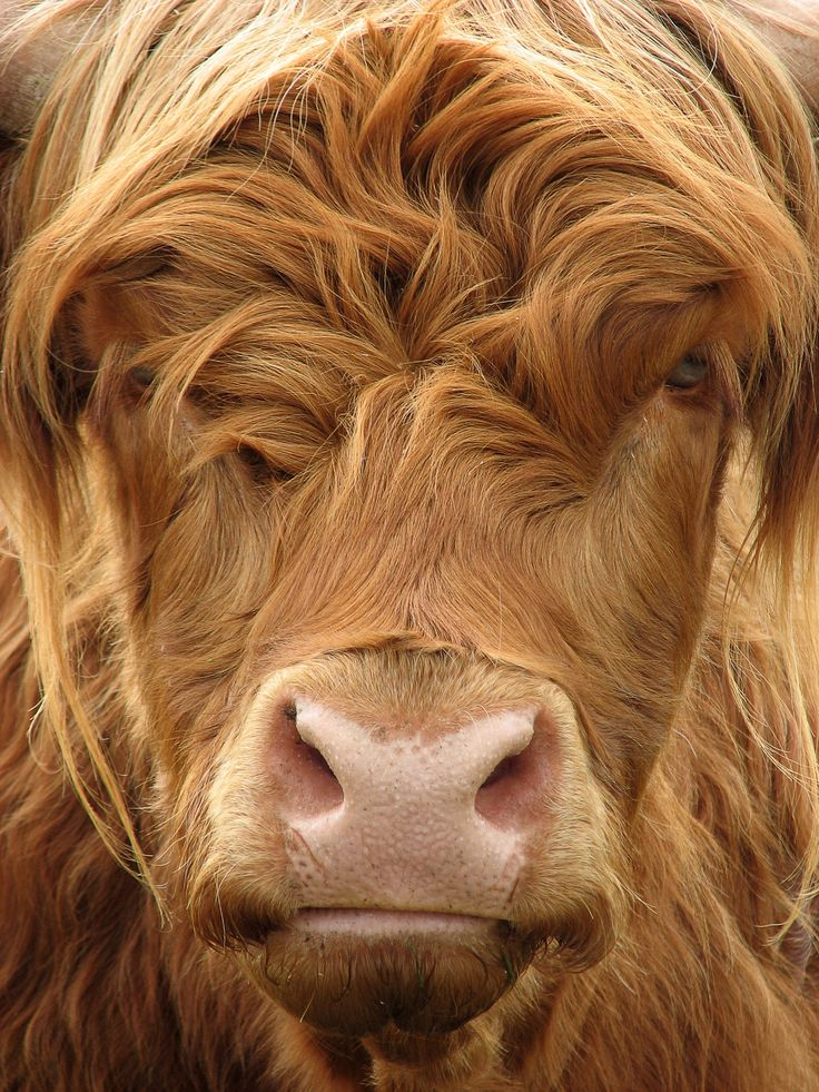 Highland cow has long #hair & doesn't care.