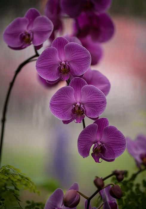 String of beautiful orchids...