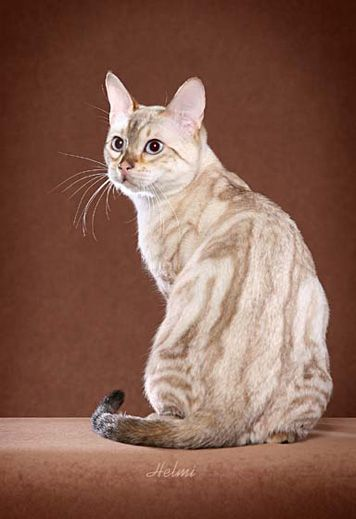 Bengal and Savannah Cats & Kittens for Sale :: Urban Safari Cattery