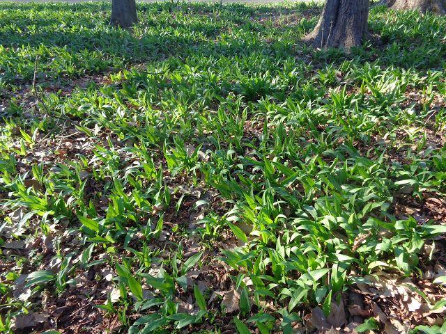 Allium ursinum nel Parco di Monza https://lefotodiluisella.blogspot.it/2017/03/Parco-Monza-flora-spontanea.html