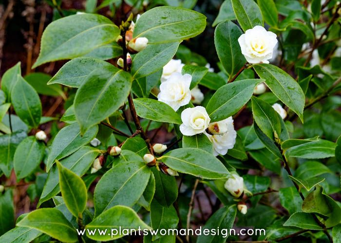 Camellia Sasanqua Buttermint Evergreen Slightly More Open Graceful Form Than Camellia Japonica Roughy 6 Ft High An Winter Plants Camellia Plant Bush Plant