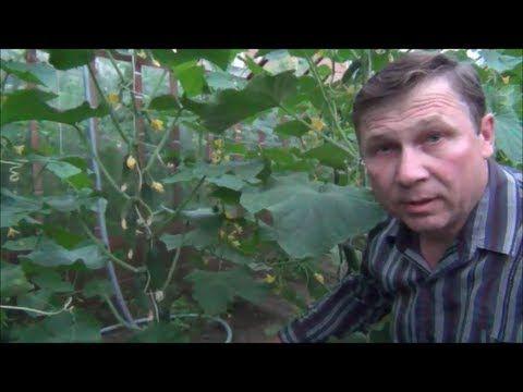 ПОДКОРМКА. Большой урожай БЕЗ минеральных удобрений - YouTube