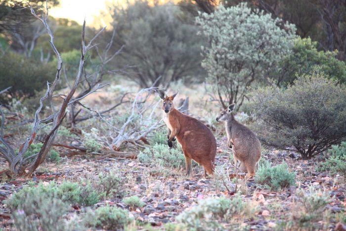 Kangaroos Leonora Western Australia