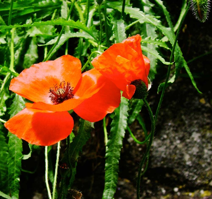 On June wild poppies are blooming everywhere in southern Tuscany Nel mese di giugno, i papaveri selvatici sono ovunque qui nella Toscana meridionale