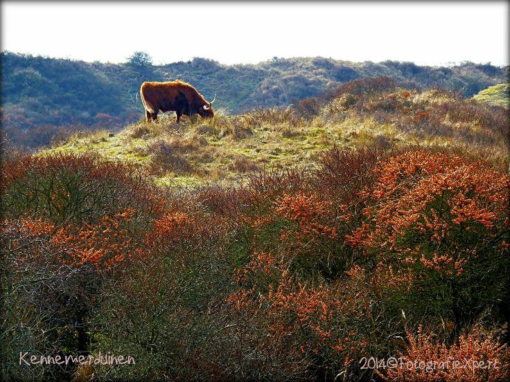 Schotse Hooglander op een heuvel in De Kennemerduinen met Duindoornbes in de voorgrond