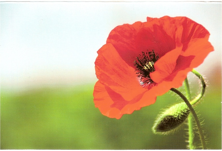 A Poppy :) From Germany