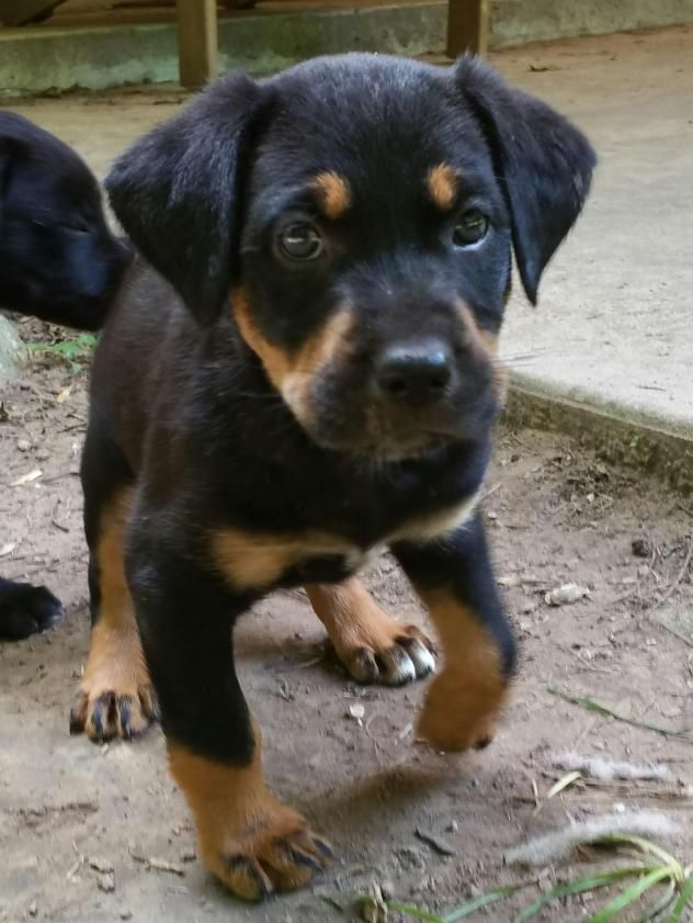 Needles is a female 4.5 mo. old Rottweiler/Labrador Retriever mix available at Rescued Rotts by Scooby Jack, Manvel,TX.