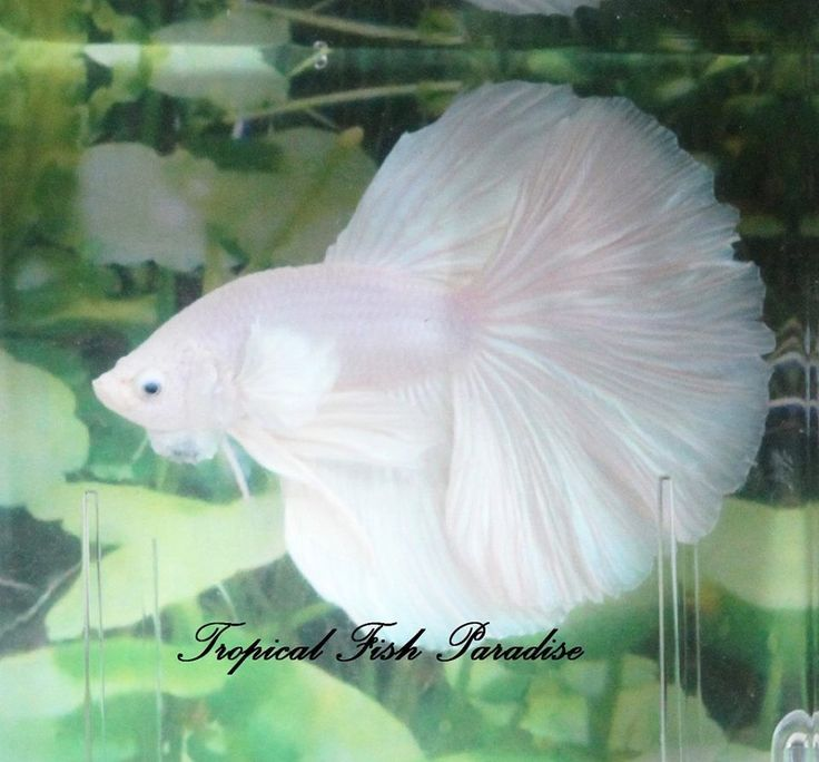 1000 images about betta on pinterest auction live fish for Best place to buy betta fish online
