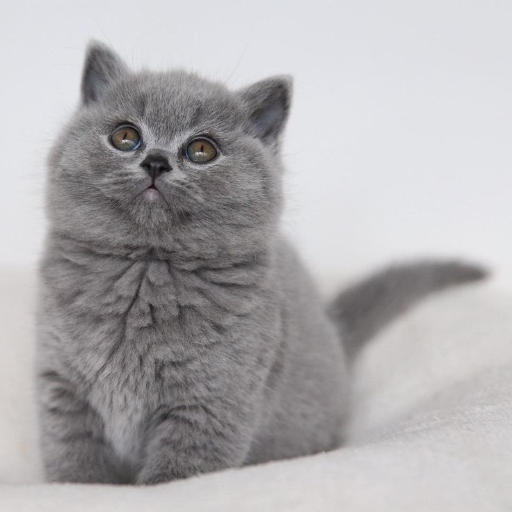 92 vind-ik-leuks, 1 reacties - British Shorthair Loves (@britishshorthairloves) op Instagram: ' Fun Facts  Top 3 places filled with cats: US : 75 million, China 47 million, Russia 13 million…'